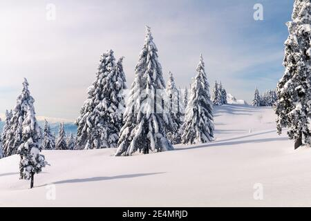 Winter landscape with snow covered pines in mountains. Clear blue skies with sunlight.