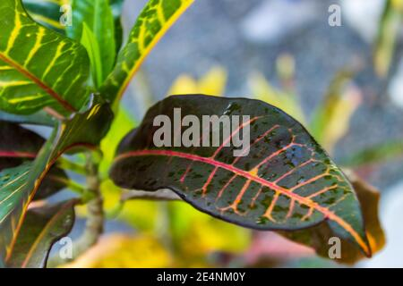 Closeup of the rain dampened leaf of a variegated laurel, codiaeum variegatum, pink and yellow veins stand out against the dark green leaf. - Stock Photo