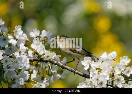 Common Chiffchaff (Phylloscopus collybita) singing male sitting in blooming cherry tree, Germany - Stock Photo