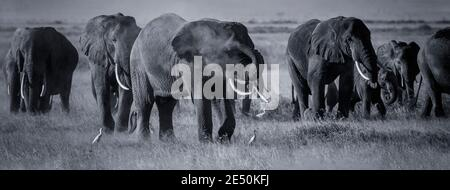 African elephant sprays dust with trunk (dust bath) while walking with herd on dusty Amboseli savannah in Kenya. Black and white monochrome elephants