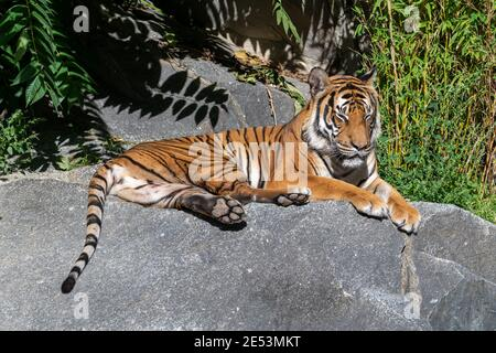 Tiger sleeping on a stone in the sun, having its eyes closed and tail hanging down from the rock