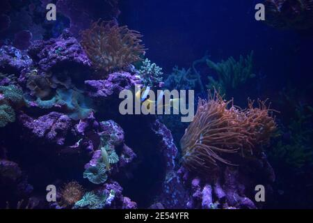 Aquarium fish Black and white fish clown (Amphiprion ocellaris). Clownfish or anemonefish are fishes from the subfamily Amphiprioninae in the family P