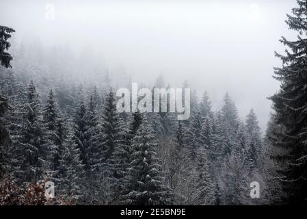 Snow covered trees in the forest during a fog.