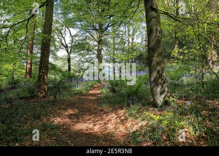 Woodland Landscape with Bluebells (Hyacinthoides Non Scripta) in early May and beautiful dappled sunlight, 08/05/2020