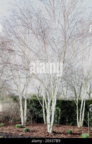 Betula utilis var. jacquemontii multistem Himalayan birch tree – multi-stemmed trees with white bark, January, England, UK