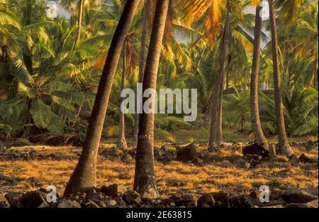 Coconut Palm tree grove at Puuhonua O Honaunau National Historical Park, Hawaii. - Stock Photo
