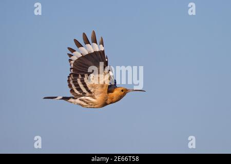Eurasian Hoopoe (Upupa epops) adult flying in blue sky with open wings , Dornod, Mongolia
