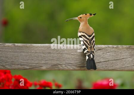 Eurasian Hoopoe (Upupa epops), adult sitting on wooden fence with insect in bill, Murcia, Spain