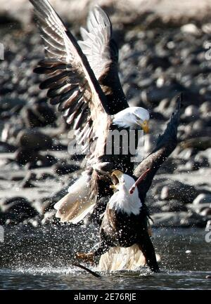 A bald eagle attacks another over a piece of food on the Squamish River in Brackendale, north of Vancouver, British Columbia December 28, 2006. Bald eagles from all over gather in the area each November and stay till the following February to feed along the shores of the river.    REUTERS/Andy Clark   (CANADA)