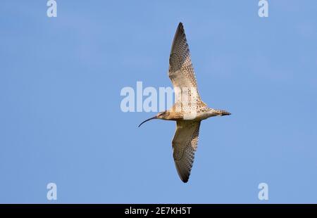 Eurasian Curlew (Numenius arquata) in flight, Burnham Overy, North Norfolk, UK
