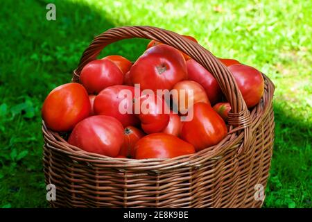 Big red ripen tomatoes in brown wooden wicker basket freshly harvested from organic garden in summer Stock Photo