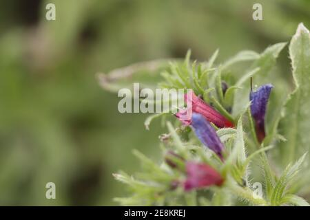 Vipers buglosses purple flowers blooming in the winter months in Spain - Stock Photo
