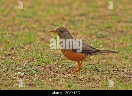 Olive Thrush (Turdus olivaceus) adult standing on short grass  Dullstroom, South Africa          November - Stock Photo