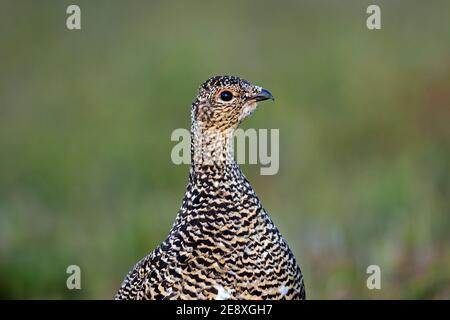Icelandic rock ptarmigan (Lagopus muta islandorum / Lagopus mutus) close-up of hen / female in breeding plumage in summer, Iceland