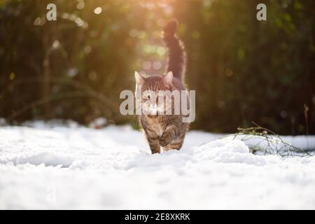 tabby cat walking towards camera outdoors in snowy garden