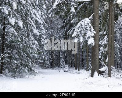 Snowy path through a woodland landscaped covered in snow. Scenic forest in winter season