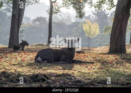 A male Japanese stag (Cervus Nippon) relaxes in the morning autumn sunshine in Nara Park, Japan - Stock Photo