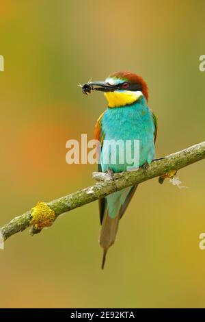 European Bee-eater, Merops apiaster, beautiful bird sitting on the branch with dragonfly in the bill. Action bird scene in the nature habitat, Hungary - Stock Photo