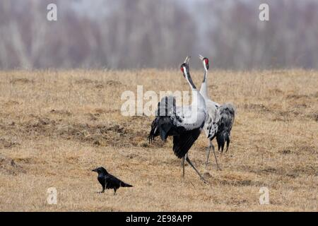 Common Cranes ( Grus grus ) pair, couple in beautiful breeding dress courting, dancing, courtship display, wildlife, Europe. - Stock Photo