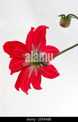 Dahlia 'Bishop of Llandaff', Back View and bud, on a white background