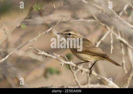 plain willow warbler, plain leaf warbler (Phylloscopus neglectus), perching on a spiny twig, side view, Oman - Stock Photo