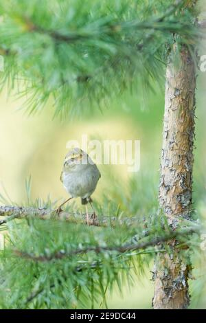 Pallas' leaf warbler, Pallas's leaf warbler, Pallas's warbler  (Phylloscopus proregulus), perching on a branch in a tree, front view, Russia, Baikal - Stock Photo