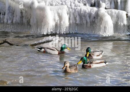 Mallards in the lake in winter - Stock Photo