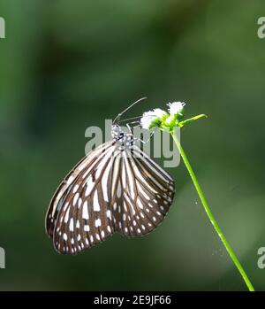 black and white dark blue tiger butterfly resting on a white flower with a natural green background in  Malaysia - Stock Photo