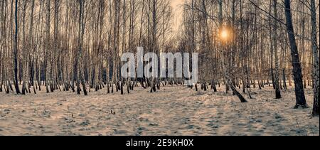 Winter landscape: Sunset in the birch forest. Golden beams of sunlight among white trunks of birch trees, snowy birch grove in backlit of golden setti Stock Photo