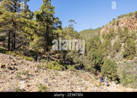 Walking through a pine forest in a barranco at Las Vegas, Granadilla de Abona, Tenerife, Canary Islands, Spain - Stock Photo