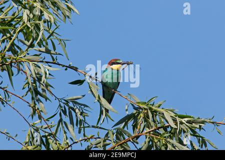 European bee-eater (Merops apiaster) perched in tree with caught dragonfly prey in beak - Stock Photo