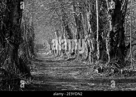 The old linden alley in winter. Beautiful scenery of black and white photography
