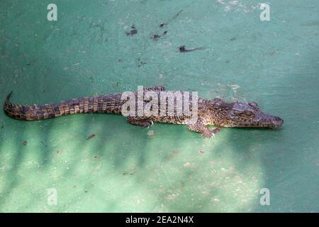 Cuban Crocodile, Crocodylus rhombifer, single immature, La Boca Crocodile Farm, Zapata, Matanzas, Cuba (Captive) - Stock Photo