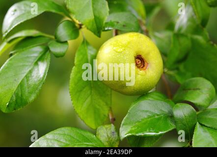 Close-up quince on a tree