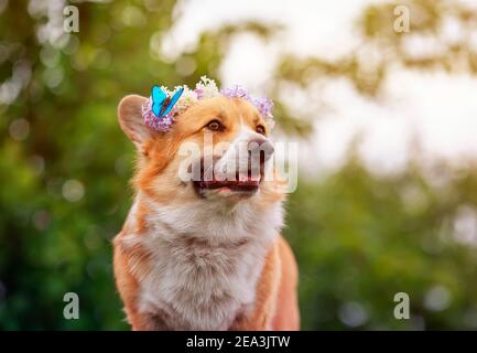 portrait cute corgi dog in a spring sunny garden in a wreath of lilac flowers with a bright blue butterfly