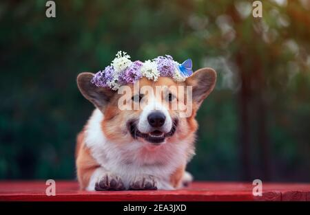portrait cute corgi dog lies in the spring garden in a wreath of lilac flowers with a bright butterfly
