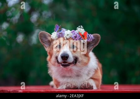 portrait cute the corgi dog lies in the spring  garden in a wreath of lilac flowers with bright butterflies
