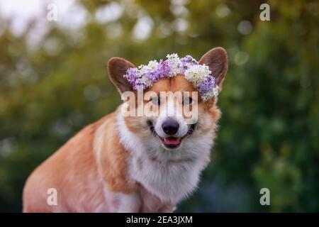 portrait cute a corgi dog walks in a sunny spring garden in a wreath of bright lilac flowers