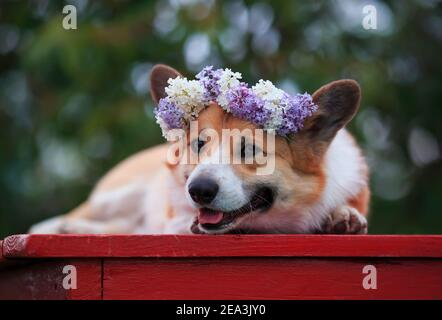 portrait cute a corgi dog in a spring sunny garden lies in a wreath of bright lilac flowers