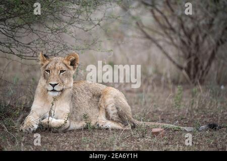 Lion cub, Panthero leo, Kruger National Park, South Africa