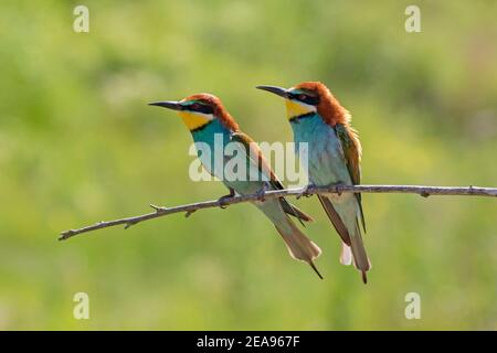 European bee-eater (Merops apiaster) couple perched in tree