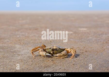Green shore crab / European green crab (Carcinus maenas), common littoral crab native to the Atlantic Ocean and Baltic Sea on beach at low tide - Stock Photo