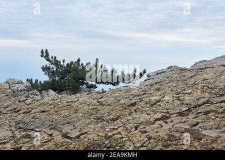 small crooked pine tree grows on a rock at the edge of a precipice