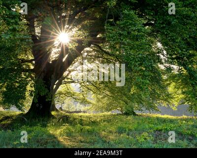 Europe, Germany, Hessen, Steffenberg, nature reserve 'Dimberg', old hat beech (red beech) in the back light - Stock Photo