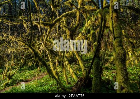 Mossy Vine Maples, Acer circinatum, along a forest trail in morning light, Silver Falls State Park, Oregon, USA Stock Photo