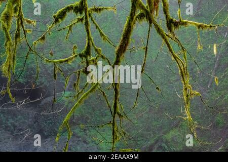 Mossy Bigleaf Maple, Acer macrophyllum, branches and leaves on an early spring morning in Silver Falls State Park, Oregon, USA Stock Photo