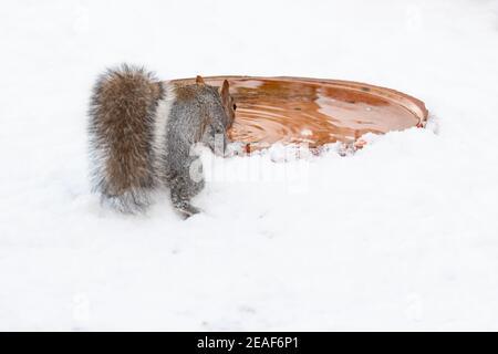 Grey squirrel (sciurus carolinensis) drinking from bird bath in snow - Scotland, UK