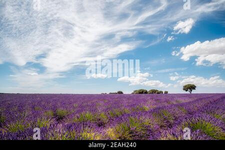 Panoramic view of a lavender field in full bloom with a tree in the background on a sunny day with clouds in the blue sky, Brihuega, Guadalajara, Spai