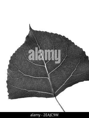 Leaf of Cottonwood in black and white on white background Stock Photo