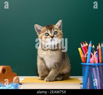cute kitten scottish golden chinchilla straight sitting on a yellow book